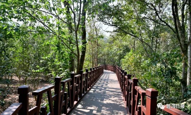 这条1.2公里的栈道,串起困鹿山古茶园美景!