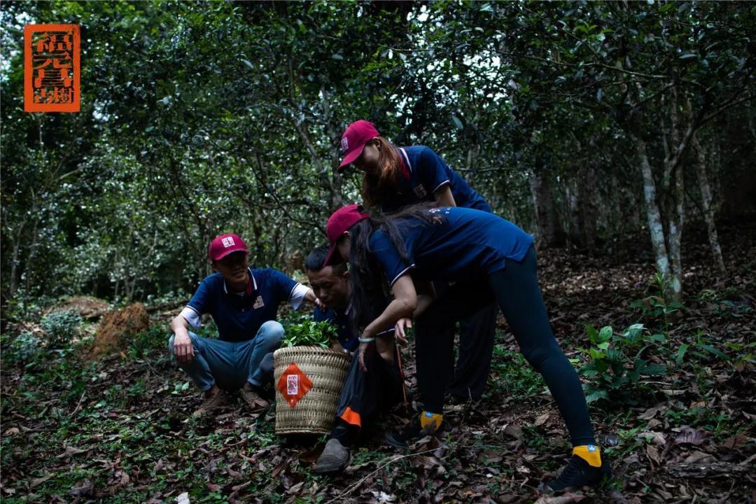2021年莽枝古茶山茶王树春茶开采,在保护中开发